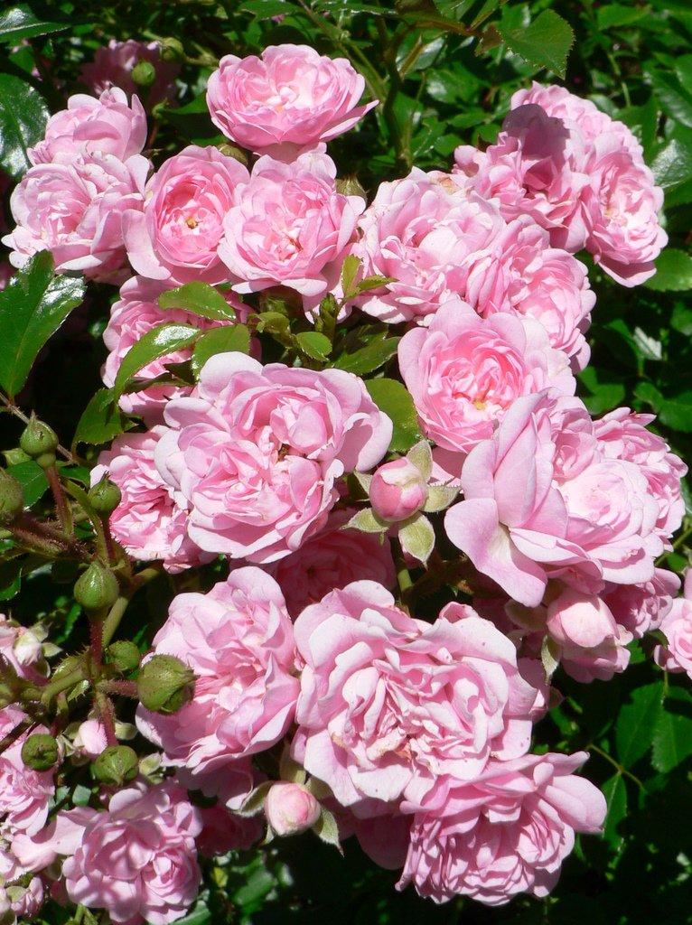Почему не растет плетистая роза 5