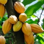 păstăi de cacao