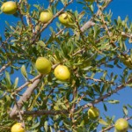 Fruit of the Argan tree (Argania spinosa)