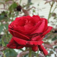 Felicitare Flori - 927