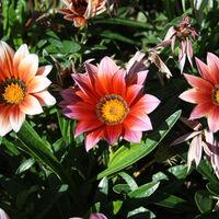 Felicitare Flori - 957