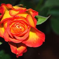 Felicitare Flori - 1098