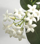 Stephanotis, iasomia de Madagascar