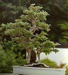 Cum tundem un bonsai