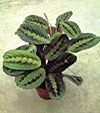 Marantha, planta care se roaga