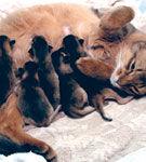Monta, gestatia, nasterea, lauzia - momente importante pentru pisica...