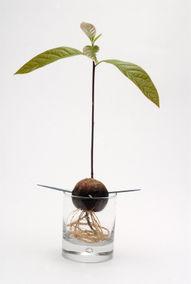 Avocado, planta ornamentala