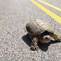 VIDEO: Țestoasa fugărește o mașinuță