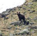 ursoaica şi puii