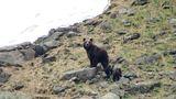 O ursoaică din România şi puii ei au cucerit internetul - VIDEO