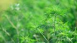 Alergia la ambrozie: cum se manifestă şi ce trebuie să faci?
