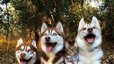Faceţi cunoştinţă cu Rosie, pisicuţa adoptată de 3 câini husky. Sunt cei mai buni prieteni