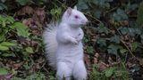 Veveriţa albă, o apariţie nemaipomenită - FOTO