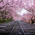 Viaţa în roz: Cele mai frumoase imagini cu pomii înfloriţi din Japonia