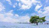 Universul e albastru: Cum arată câmpul cu 4,5 milioane de flori Nemophila
