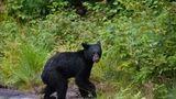 Asta-i Rusia: Ursuleţul care lucrează în grădină e vedetă pe internet