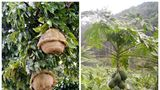 Nu te-ai fi aşteptat să crească aşa! Cum arată 8 fructe exotice în copac