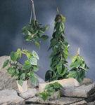 Plante cu Feng Shui bun