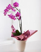 Cum ingrijim orhideele in interior
