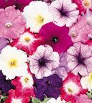 O floare la fel de colorata ca vara...
