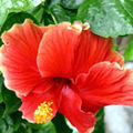 Hibiscus sau trandafirul chinezesc