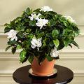 Gardenia, o planta dificila