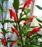 Flori rosu aprins de Aeschynanthus