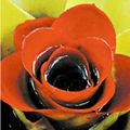 Nidularium (Bromelia), flori rare si spectaculoase