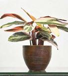 Aglaonema (Stromanthe), o planta ideala pentru birou