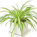 Crinul verde sau voalul miresei, o planta usor de cultivat