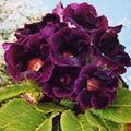 Gloxinia, o planta cu flori spectaculoase