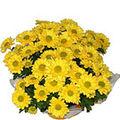 Crizantema, floarea toamnei si a onoarei in literatura chineza...