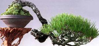 Modalitati de schimbare a formei bonsaiului