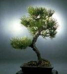 Un bonsai fericit in solul si vasul potrivit!