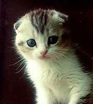 Scottish Fold, pisicuta cu urechile pliate