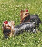 Yorkshire Terrier - un aristocrat in miniatura