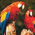 Ara Macao - Papagalul stacojiu