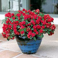 Trandafirii pitici - culoare si prospetime