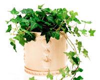 Iedera, o planta versatila