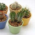 Cactusul - o planta usor de intretinut