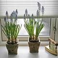 Afla cum sa ingrijesti plantele de apartament iarna!