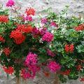Umple-ti casa de culoare! Plante cu flori pentru vara