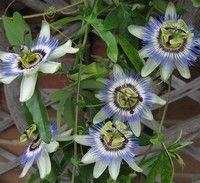 Eşti stresată? Naturopaţii recomandă floarea pasiunii