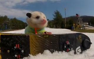 VIDEO: Ratatouille, oposumul care face snowboard