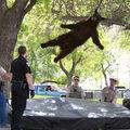 VIDEO. Ursul din copac: aterizare perfectă pe saltea