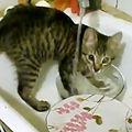 Cea mai harnică pisică: spală vasele în chiuvetă! - VIDEO