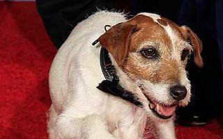 """Uggie, câinele din """"The Artist"""", din nou la Hollywood"""