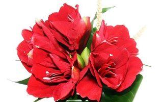 Amarilis rosu –floarea sezonului toamna-iarna 2013/2014