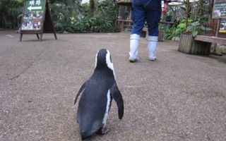 VIDEO: Pinguinul care a cucerit internetul