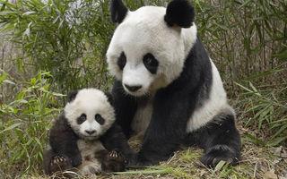 VIDEO: Panda nu vrea să doarmă